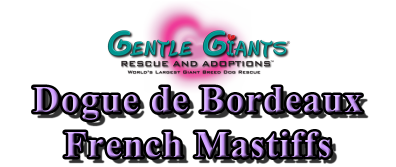 Dogue De Bordeaux French Mastiffs At Gentle Giants Rescue And Adoptions